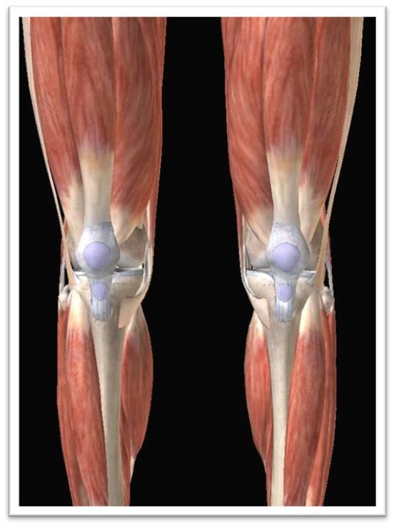 膝蓋圖-正面1